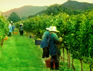 Thailand wine harvest workers in the PB valley vineyard Khao Yai